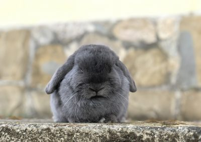 MINI LOP AZUL