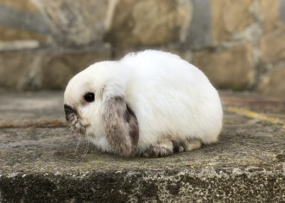 MINI LOP SEAL POINT